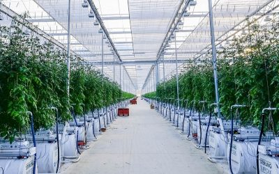 New glasshouse for Sterling Suffolk